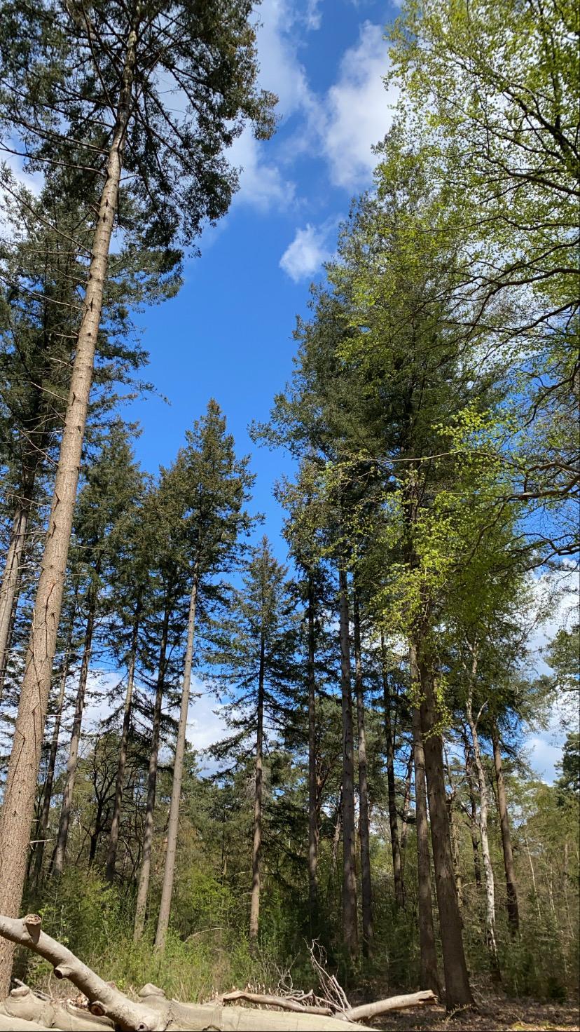 Het bos bij Lage Vuursche, scriptie-3-daagse